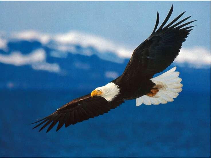 Белоголовый орлан Белоголовый орлан - крупная хищная птица, живущая на террит...