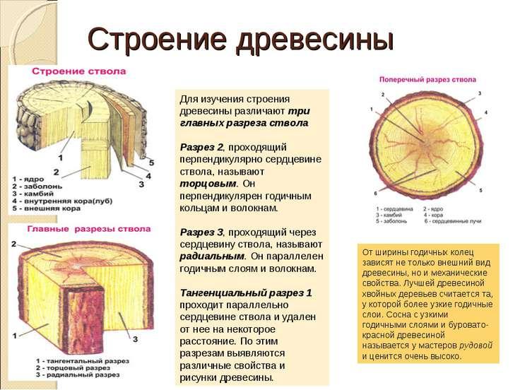 Строение древесины Для изучения строения древесины различают три главных разр...