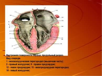 Внутренняя поверхность сердца, продольный разрез. Вид спереди. 1 - межжелудоч...