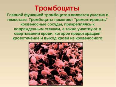 Тромбоциты Главной функцией тромбоцитов является участие в гемостазе. Тромбоц...