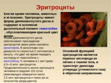 Эритроциты Клетки крови человека, животных и иглокожих. Эритроциты имеют форм...