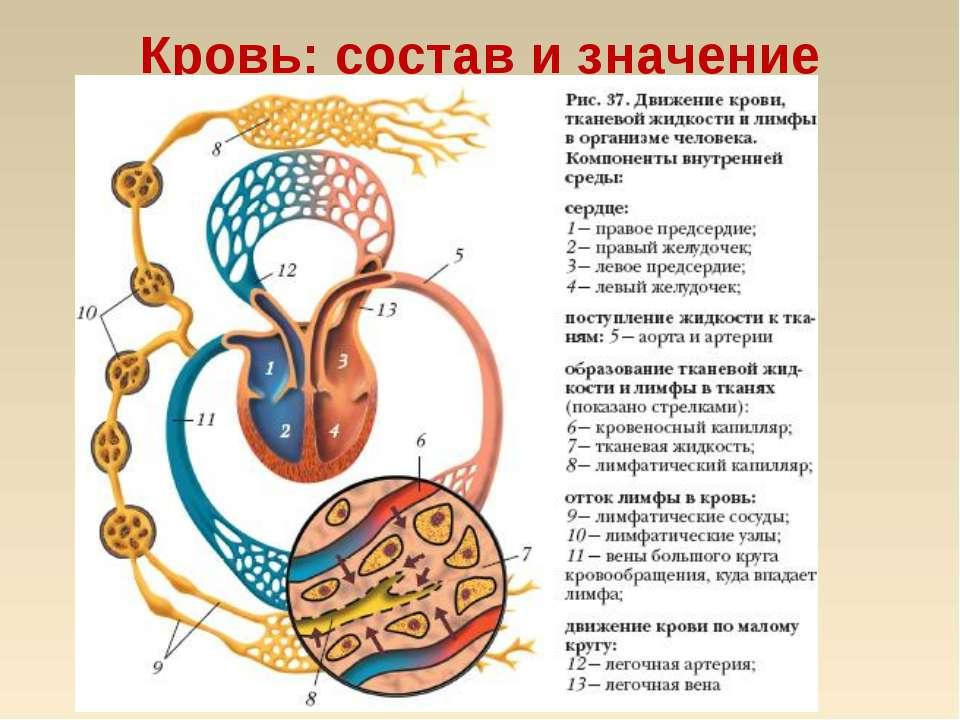 Кровь: состав и значение