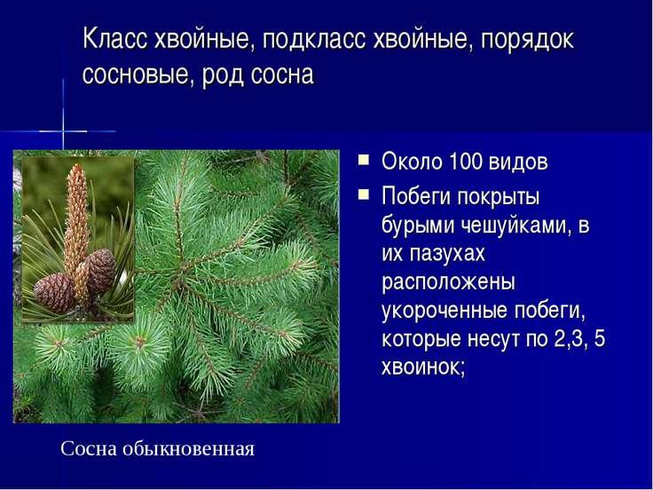Класс хвойные, подкласс хвойные, порядок сосновые, род сосна Около 100 видов ...