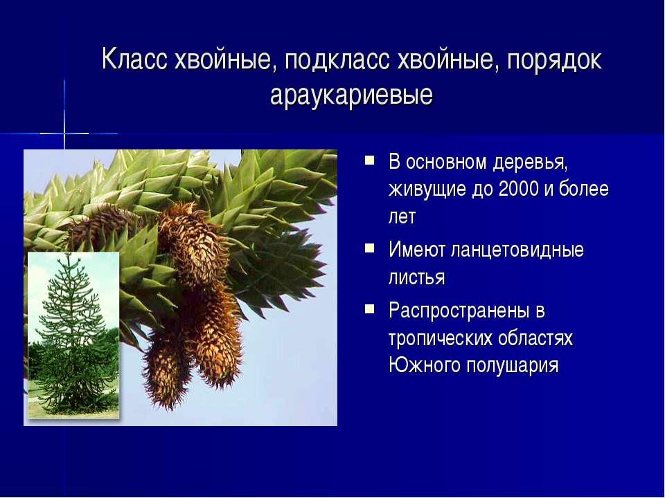 Класс хвойные, подкласс хвойные, порядок араукариевые В основном деревья, жив...