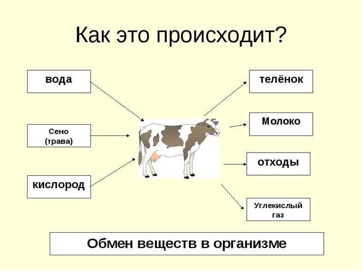 Как это происходит? вода Сено (трава) кислород телёнок Молоко отходы Углекисл...