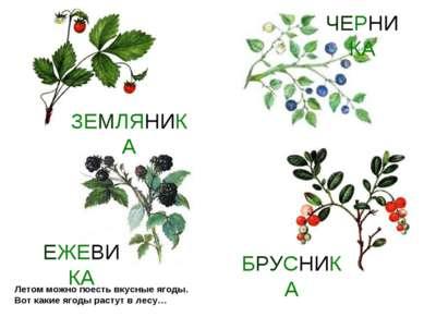 Летом можно поесть вкусные ягоды. Вот какие ягоды растут в лесу…