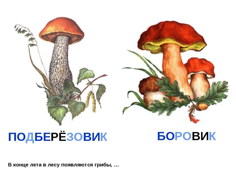 В конце лета в лесу появляются грибы, … ПОДБЕРЁЗОВИК БОРОВИК