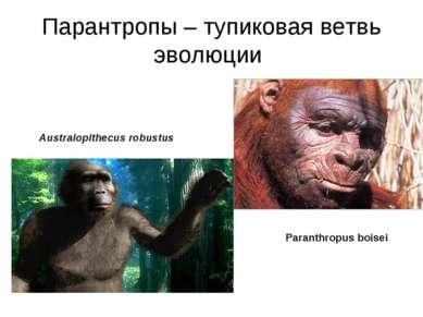 Парантропы – тупиковая ветвь эволюции Australopithecus robustus Paranthropus ...