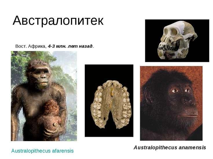 Австралопитек Вост. Африка, 4-3 млн. лет назад. Australopithecus anamensis A...
