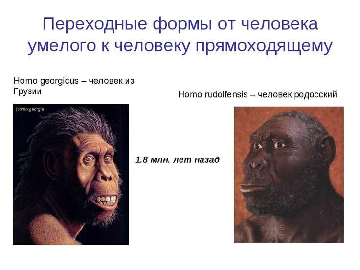 Переходные формы от человека умелого к человеку прямоходящему Homo rudolfensi...