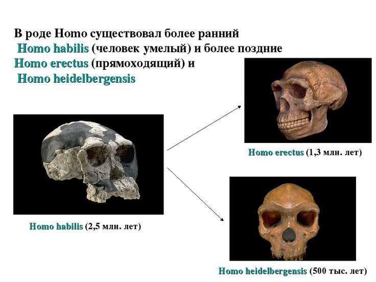 В роде Homo существовал более ранний Homo habilis (человек умелый) и более по...