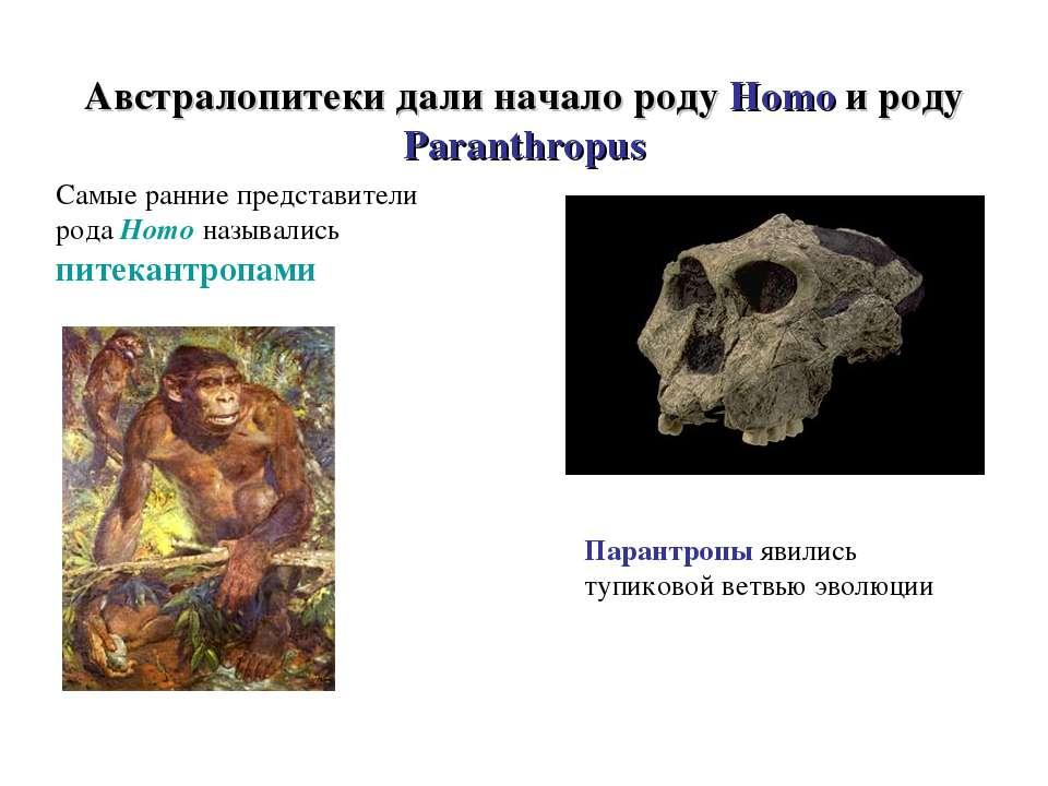 Австралопитеки дали начало роду Homo и роду Paranthropus Самые ранние предста...