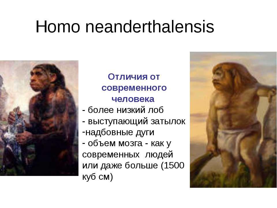 Homo neanderthalensis Отличия от современного человека - более низкий лоб - в...