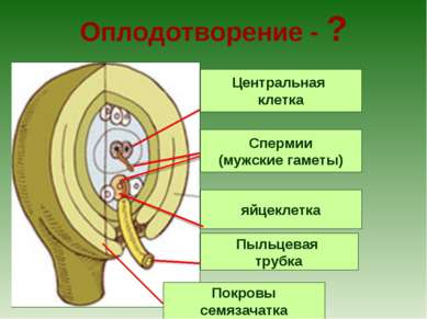Оплодотворение - ? Центральная клетка Спермии (мужские гаметы) Покровы семяза...