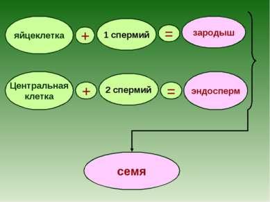 яйцеклетка + 1 спермий = зародыш Центральная клетка 2 спермий = + эндосперм семя