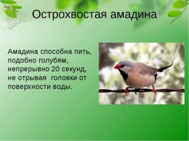 Острохвостая амадина Амадина способна пить, подобно голубям, непрерывно 20 се...