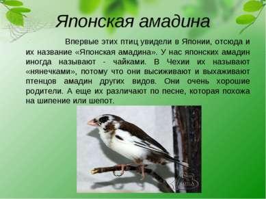 Японская амадина Впервые этих птиц увидели в Японии, отсюда и их название «Яп...
