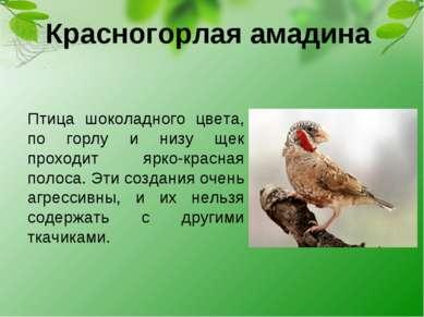Красногорлая амадина Птица шоколадного цвета, по горлу и низу щек проходит яр...
