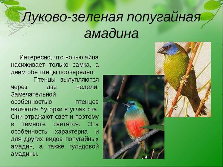 Луково-зеленая попугайная амадина Интересно, что ночью яйца насиживает только...