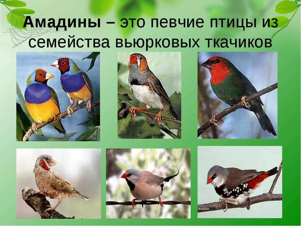 Амадины – это певчие птицы из семейства вьюрковых ткачиков
