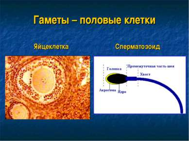 Гаметы – половые клетки Яйцеклетка Сперматозоид