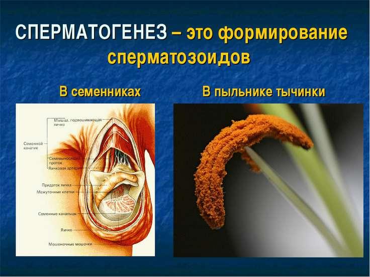 СПЕРМАТОГЕНЕЗ – это формирование сперматозоидов В семенниках В пыльнике тычинки