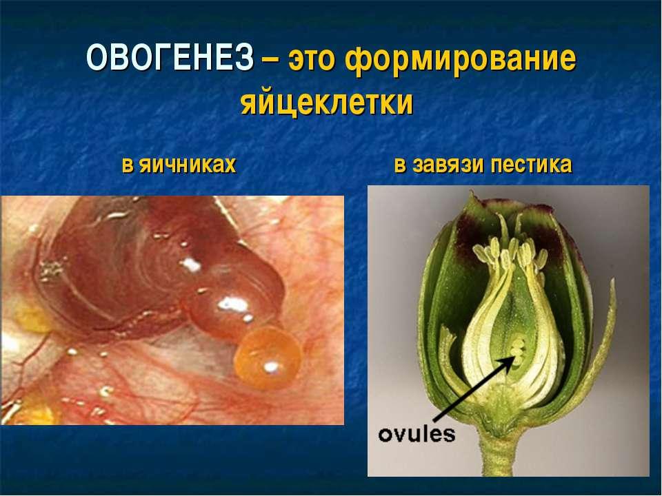ОВОГЕНЕЗ – это формирование яйцеклетки в яичниках в завязи пестика