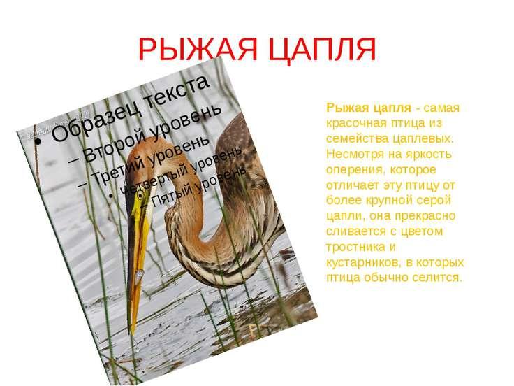 РЫЖАЯ ЦАПЛЯ Рыжая цапля - самая красочная птица из семейства цаплевых. Несмот...