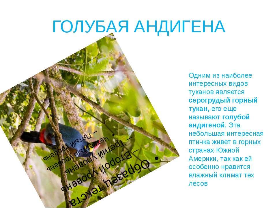 ГОЛУБАЯ АНДИГЕНА Одним из наиболее интересных видов туканов является серогруд...