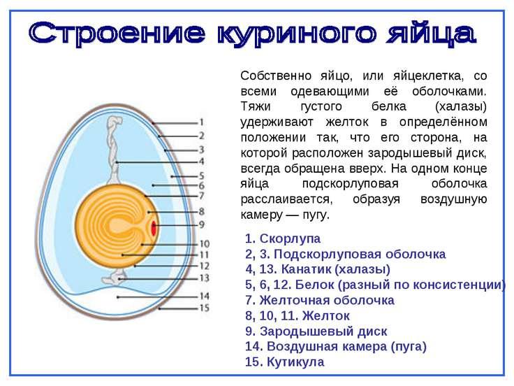 Собственно яйцо, или яйцеклетка, со всеми одевающими её оболочками. Тяжи густ...