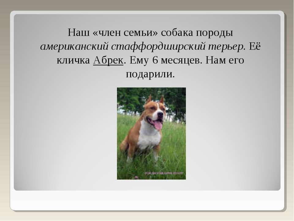 Наш «член семьи» собака породы американский стаффордширский терьер. Её кличка...