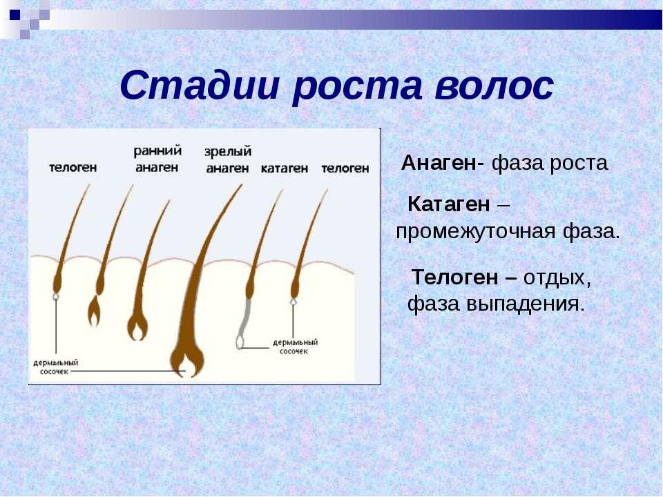 Стадии роста волос Телоген – отдых, фаза выпадения. Анаген- фаза роста Катаге...