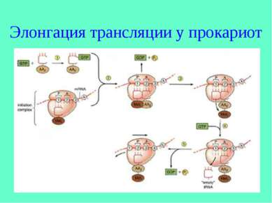 Элонгация трансляции у прокариот