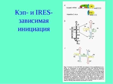 Кэп- и IRES-зависимая инициация