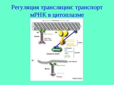 Регуляция трансляции: транспорт мРНК в цитоплазме