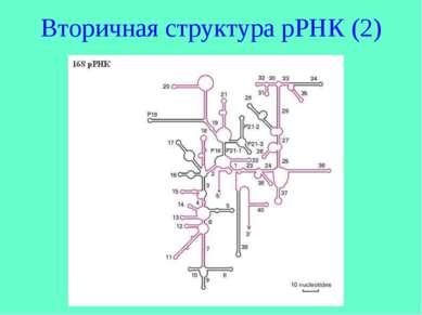 Вторичная структура рРНК (2)