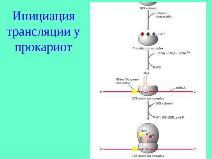 Инициация трансляции у прокариот