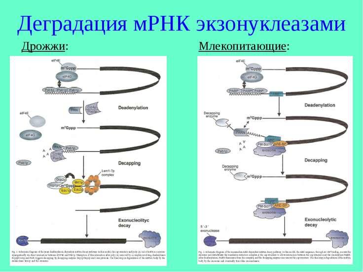 Деградация мРНК экзонуклеазами Дрожжи: Млекопитающие: