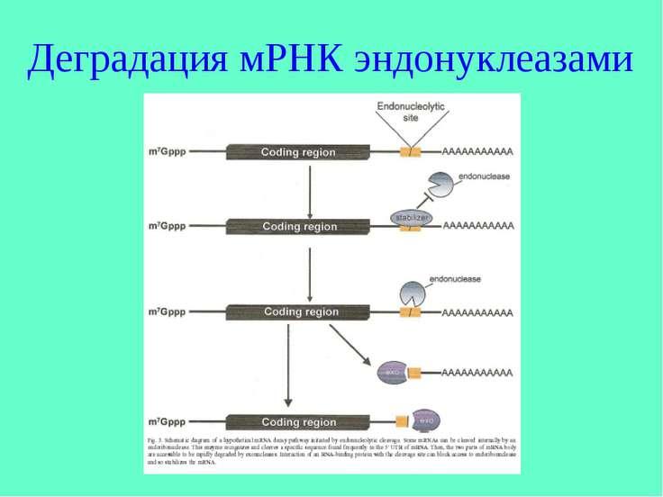 Деградация мРНК эндонуклеазами