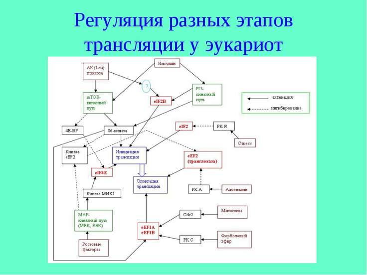 Регуляция разных этапов трансляции у эукариот