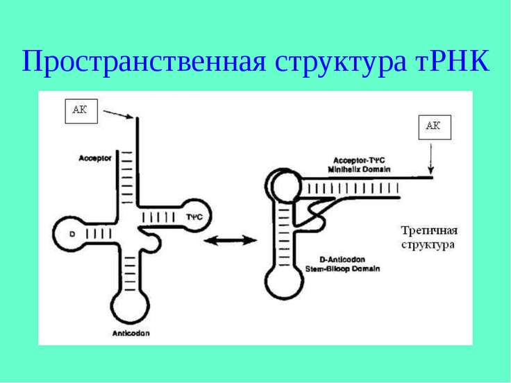 Пространственная структура тРНК