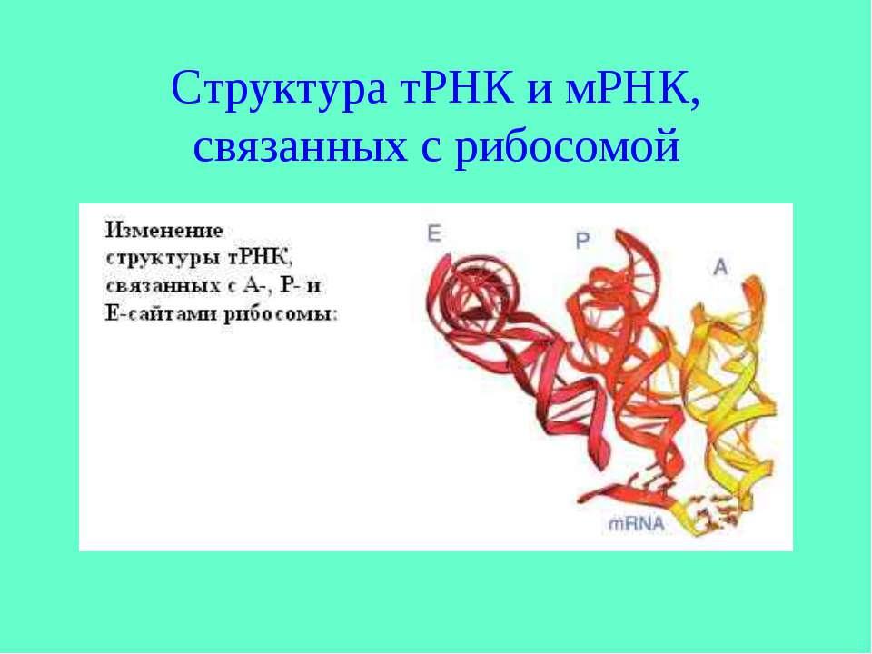 Структура тРНК и мРНК, связанных с рибосомой