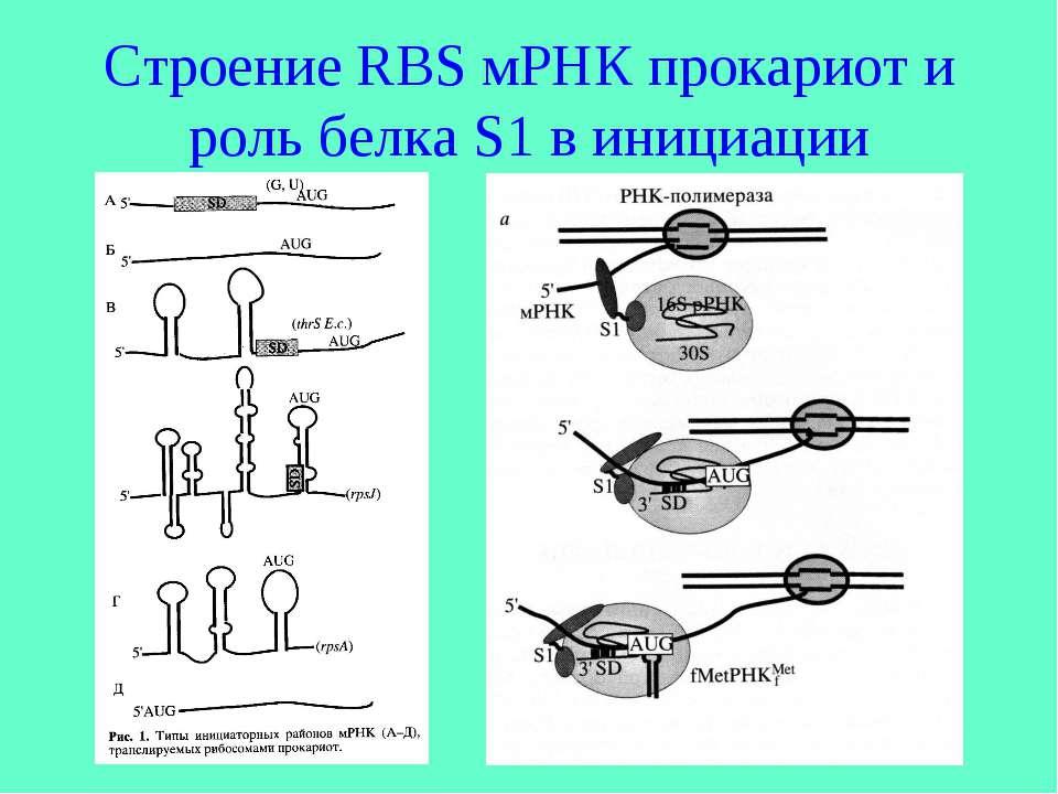 Строение RBS мРНК прокариот и роль белка S1 в инициации