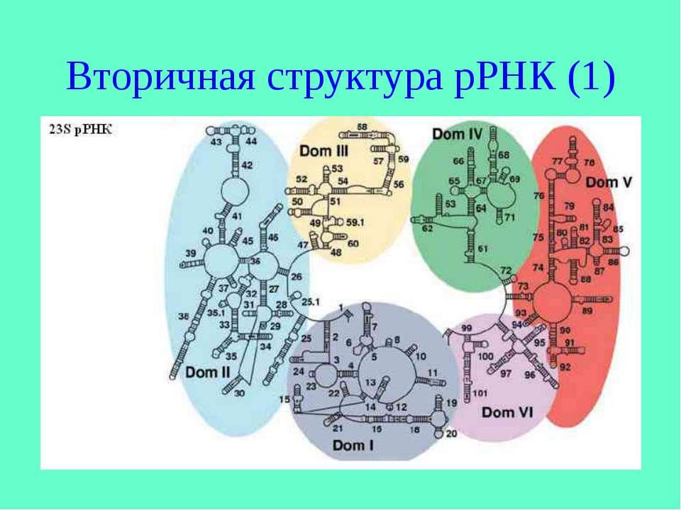 Вторичная структура рРНК (1)