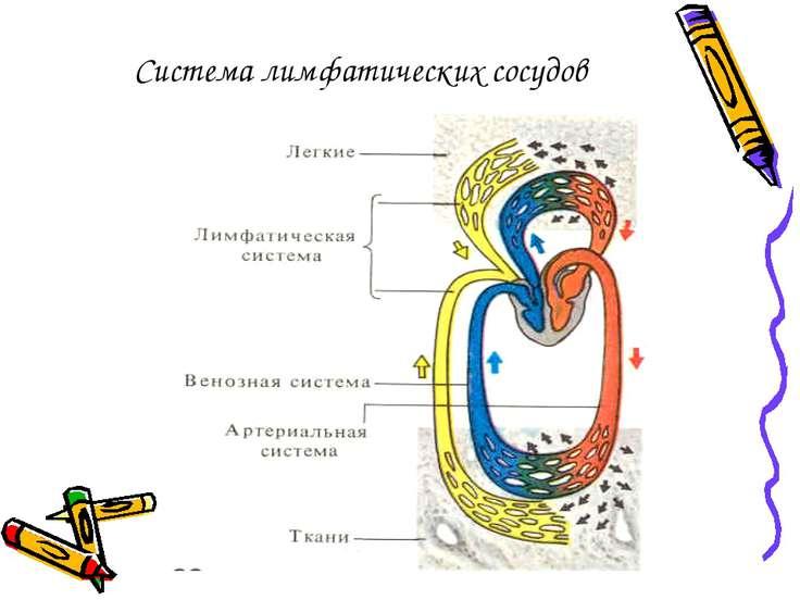 Система лимфатических сосудов