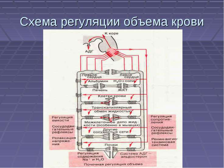 Схема регуляции объема крови