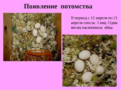 Появление потомства В период с 12 апреля по 21 апреля снесла 5 яиц. Один меся...