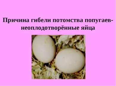 Причина гибели потомства попугаев- неоплодотворённые яйца