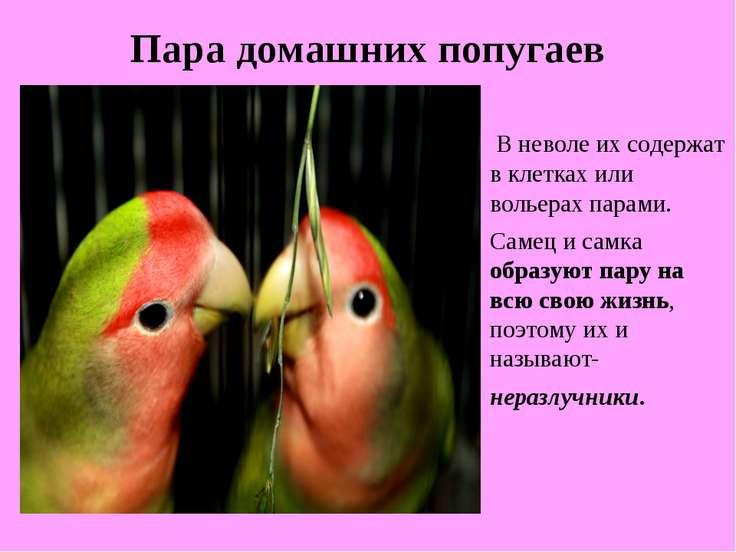 Пара домашних попугаев В неволе их содержат в клетках или вольерах парами. Са...