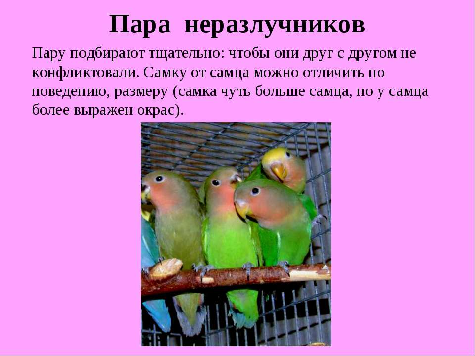 Пара неразлучников Пару подбирают тщательно: чтобы они друг с другом не конфл...